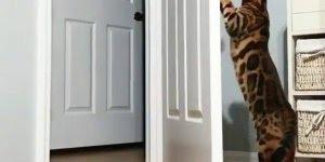 Gatinho abre e fecha a porta, olha só que inteligente este animalzinho!!!