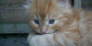 Gatinho amarelo dos olhinhos azuis, que coisinha mais lindinha!!!