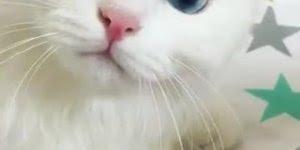 Gatinho banquinho dos olhinhos azuis, que criaturinha mais linda!!!