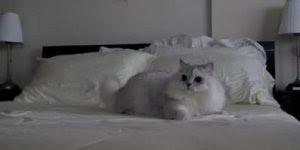 Gatinho fofinho brincando em cima da cama, olha só que lindinho!!!