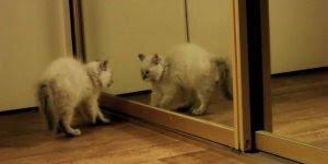 Gatinhos intrigados com seus reflexos no espelho, olha só que fofinhos!!!