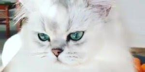 Gato com olho cor de esmeralda, que coisa mais linda, parece uma aparição!!!