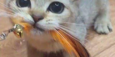 Gato comendo chaveiro de pena, será que ele achou que fosse um pássaro?