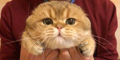 Gato fofo e gordo recebendo carinho no queixo, muita fofura!