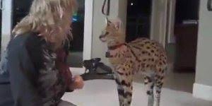 Gato Savannah brincando com sua dona, eu ficaria com medo e você?