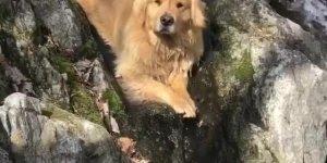Golden retriever relaxando na cachoeira, olha só a carinha dele!!!