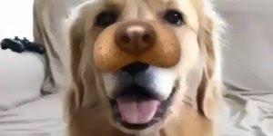 Golden retriever se divertindo com filtros do Instagram, olha só que fofo!!!