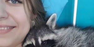 Guaxinim fazendo carinho em sua dona, olha só que fofura de animal!!!