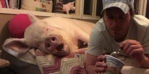 Homem dividindo sorvete com porco enorme e galinha, que diferente!