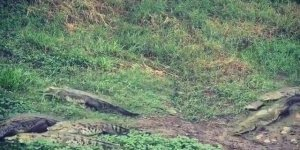 Hora do almoço dos crocodilos, que medo de ficar perto hein!