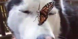 Husky com uma borboleta no nariz, o vídeo mais lindo que você vai ver hoje!!!