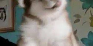 Husky mais fofinho que você vai ver hoje, olha só que lindeza!!!
