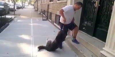 Husky Siberiano se finge de morto para poder passear mais, confira!!!