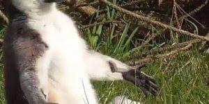 Lémures tomando um solzinho para esquentar, olha só que animal mais lindo!!!