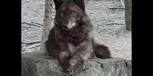 Lobos e suas belezas exuberante, com musica do Grupo musical Enya!