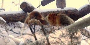 Macaco dourado observando a chuva, conheça este incrível animal!!!