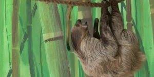 Macaquinho roubando fruta de bicho preguiça, tadinha, macaquinho mau!!!