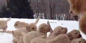 Mamãe brincando com seus filhotinhos, uma linda família de cachorros!