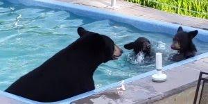Mamãe urso e seus filhotes curtindo a piscina em um dia quente de verão!!!