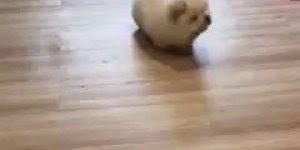 Momento fofura do dia! Olha este filhotinho de Chow chow branco!!!
