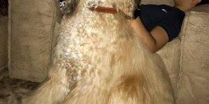 Olha o tamanho dessa cachorra, parece um urso de tão fofa!