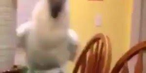 Papagaio branco mandando um oi, que serumaninho mais lindinho!!!