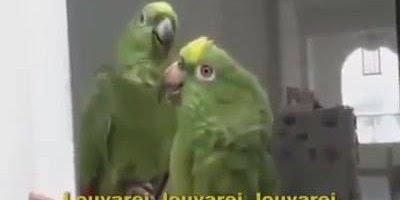 Papagaios cantando, olha só que animal mais incrível, vale a pena conferir!!!