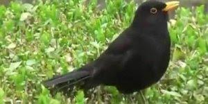 Pássaro com canto lindo, veja que maravilhosa é a natureza!