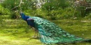 Pavão mostrando sua beleza fascinante de suas penas, como é lindo este animal!!!