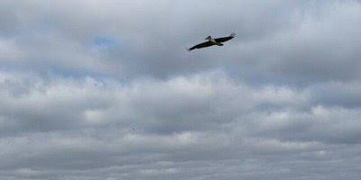Pelicano pescando, este animal é um dos maiores pescadores no mar!!!