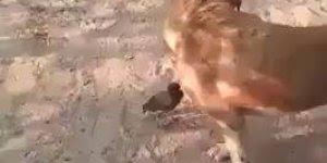 Pensa em um passarinho brigão, kkk! O cachorro não esta afim, mas ele esta!!!