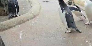 Pinguim-macaroni dando show de alegria, hahaha! Olha só como ele pula!!!