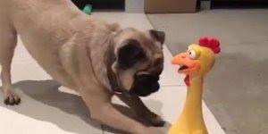Pug conhecendo seu mais novo brinquedinho, olha só que engraçado!!!