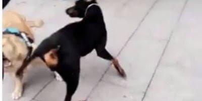 Quem disse que capoeira não é para cachorros, kkk! Veja só este capoeirista!!!