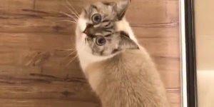 Raça de gato Munchkin, uma raça muito fofa e adorável, confira!!!