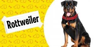 Rottweiler um cachorro mal interpretado, que possui um enorme coração!!!