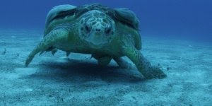 Tartaruga marinha nadando no fundo do mar, olha só que animal impressionante!!!