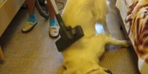 Tem cachorros que tem medo de aspirador de pó, já outros...