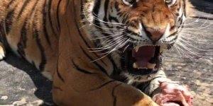 Tigre roncando acordado, por isso que os homens rouca, para colocar medo!