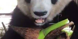 Urso panda se alimentando, não existe carinha mais fofa que a deste animal!!!