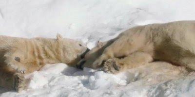 Urso Polar se refrescando na neve, tão fofo, nem parece que é tão feroz!!!
