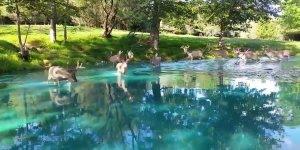 Veados caminhando sobre lao com água verde água, veja que lindo!!!