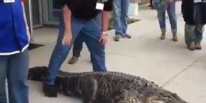 Vídeo com crocodilo andando entre humanos tranquilamente, incrível!!!