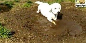 Vídeo com filhote de cachorro brincando na lama, olha a mamãe brava!!!