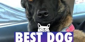 Vídeo com os melhores cães de 2017 da internet, a retrospectiva mais fofa!!!