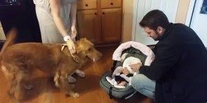 Vídeo de cachorro recebendo pela primeira vez o bebê em casa!!!