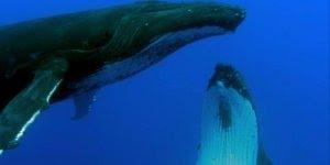 Vídeo mostrando o balé das baleias, simplesmente maravilhoso!!!