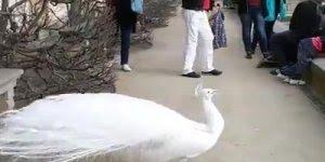 Você conhece o pavão branco? Um lindo animal da natureza!