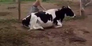 Menino sobe em vaca e tem uma surpresa, assista até o final e descubra!