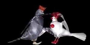 Casal de Pombo dançando forró do Amado Batista, a música Escuta!